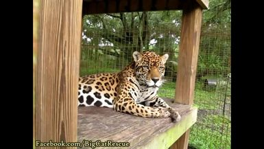 """Manny close-up! """"Jaguar"""" comes from """"yaguar"""" meaning """"the killer which overcomes its prey in a sing"""