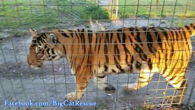 Enjoy a trio of tigers in the morning sun. Here's Jasmine, Amanda and Sapphire!