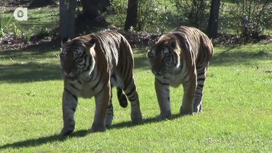 How to Feed 100 BIG CATS!