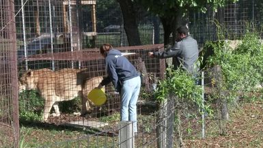 Cameron Lion Has A Mass Removed