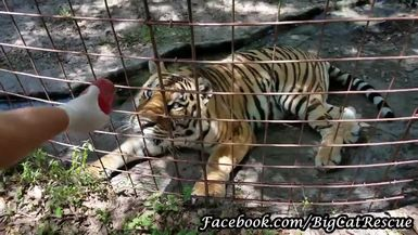 """Jasmine Tiger by the """"River"""" getting a sicle from Master Keeper Sue."""
