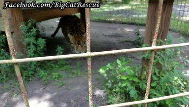 Manny Jaguar just got a tuna sicle from Keeper Marie!