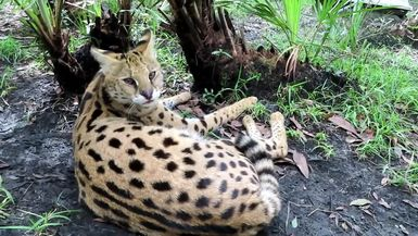 Gorgeous Illithia gives a perfect demonstration of the typical hissy serval personality!