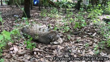 Sweet little Smalls Bobcat is enjoying the heck out of that spice bag!