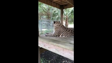 Sundari Leopard in slo-mo! You can see every muscle move in this awesome video!