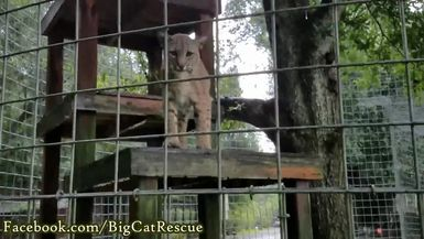 Even though we don't think of bobcats liking the rain, it turns out Max loves it!