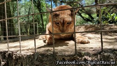 Twenty-two year old Siberian Lynx, Apollo, is hanging out on top of his den