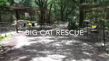 Big Cat Rescue Home Tour: Ginger Serval