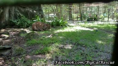 Canada Lynx, Gilligan, has to make sure his sicle doesn't get away.