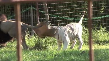 Hilarious Big Cat Bloopers and Fails! Blast from the Past! 2011