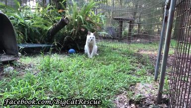 Pharaoh Serval waiting for Breakfast and saying hello to Brittany.