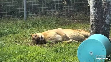 Nikki Lion and her royal roll!