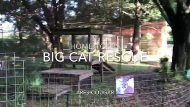 Big Cat Home Tour: Ares Cougar