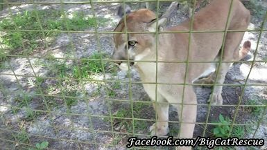 Ares Cougar is getting some meat treats in between purrs.