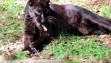 Silly Jinx Leopard has great toys and chooses to play with a stick instead. Just like a cat!!