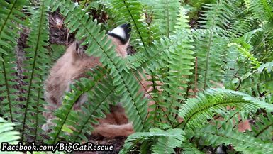 Beautiful little Smalls Bobcat is feeling reclusive today!