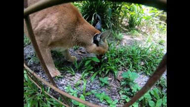Cyrus Caracal LOVES His Sicle!