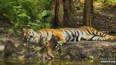 Lakeside Roll ~ Priya Tiger