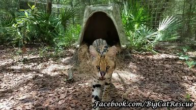 Keeper Marie tries to give very shy Servie Serval a treat.