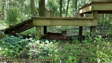 Chaos Caracal hanging out under her platform.