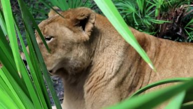 Nikita Lion is a pro at ignoring her keepers