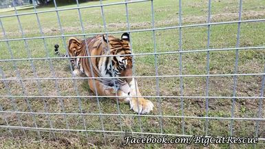 Amanda Tiger LOVING Another Cicle! Video by Keeper Marie Schoubert