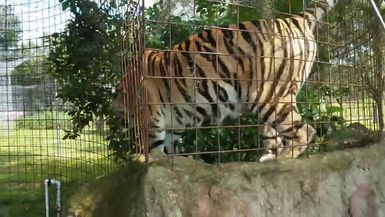Jasmine Tiger Being Silly on Top of Her Den