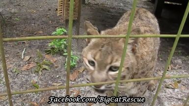 Even at age 22, Running Bear shows how fierce a bobcat can be!