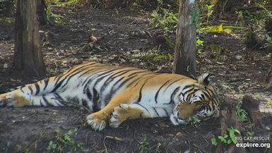 Pretty pretty princess Priya Tiger relaxing in her lakeside jungle on this CATurday!