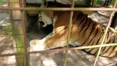 Kali Tiger Chatting with Keeper Mary Lou