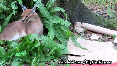 Chaos needs a rest after expending lots of energy tearing up her enrichment!