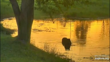 A Tiger Swims at Sunset