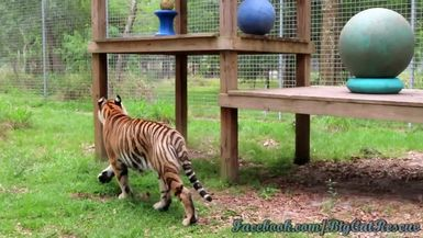 Jasmine got a new toy! But how did all her other toys get up onto her platform?