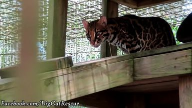 PurrFection Ocelot's markings are extraordinary! Can you believe she's 23?