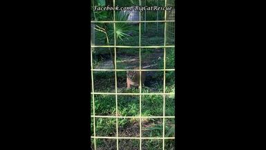 Cyrus Caracal is getting breakfast from Keeper Victoria!