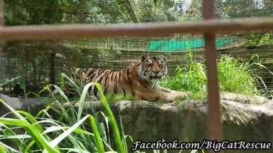 Jasmine tigress would rather stroll in the grass today than eat her sicle