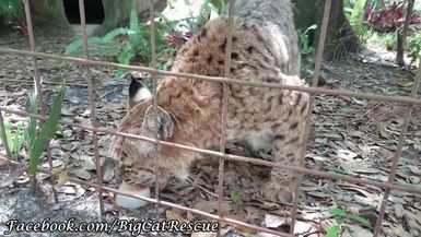Breezy Bobcat enjoying an afternoon sicle, again. :-)
