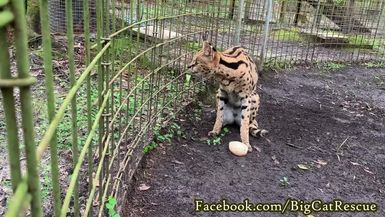 Sheena Serval's first day out of the hospital!