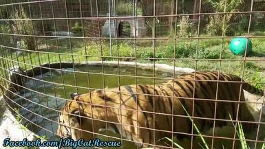 Simba seems to be very happy with his tiger pool!