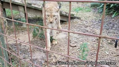 Apollo Siberian Lynx slowly waking up to say hello to Marie Exclusive for Subscribers Video by Kee