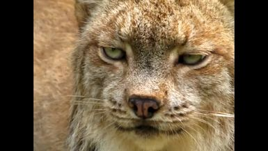 Be still my heart! This is a REAL closeup of Gilligan, our dapper little Canadian Lynx!