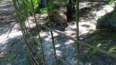 SUPPORTER SNEAK PEAK VIDEO - Hutch Serval is quite a character. He LOVES playing with water! THAN