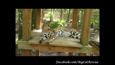 Found this video of Ginger from July 4th displaying her typical hissy serval personality!