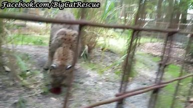 Running Bear Bobcat is sure HAPPY with the sicle Keeper Bethany brought to him