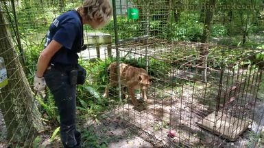 Elderly Siberian Lynx, Apollo, gets a sicle and some grooming help from Keeper Marie.
