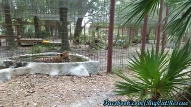Marie found a tiger pool that is occupied by a very wet Max!