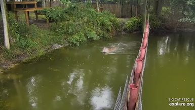 Dutchess Tiger isn't a fan of the jumping fish! This amazing video was captured on cameras from