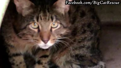 Loki, the Savannah Cat, became another unwanted pet when his owners divorced.