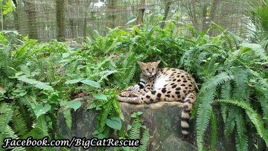 Keeper Marie thinks Nala Serval is quite the clown. She sure makes me laugh!