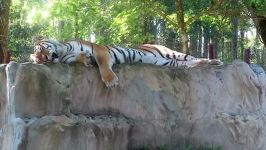 Dutchess Tiger says being beautiful is hard work and requires many catnaps each day.